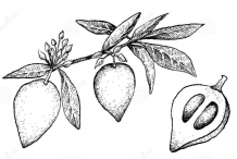 Plant-Illustration-of-Canistel