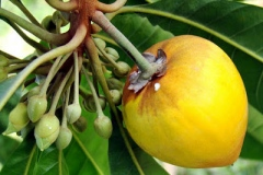 Closer-view-of-ripe-fruit-of-Canistel
