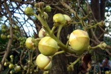 Flower buds of Canonball tree
