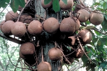 Fruits-of-Canonball-tree