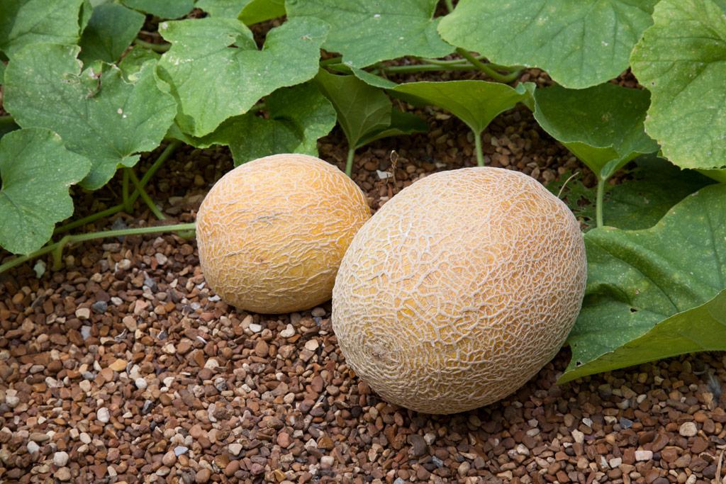 Cantaloupe-fruit