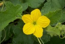 Cantaloupe-flower