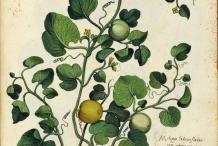 Cantaloupe-plant-illustration