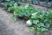 Cantaloupe-plant