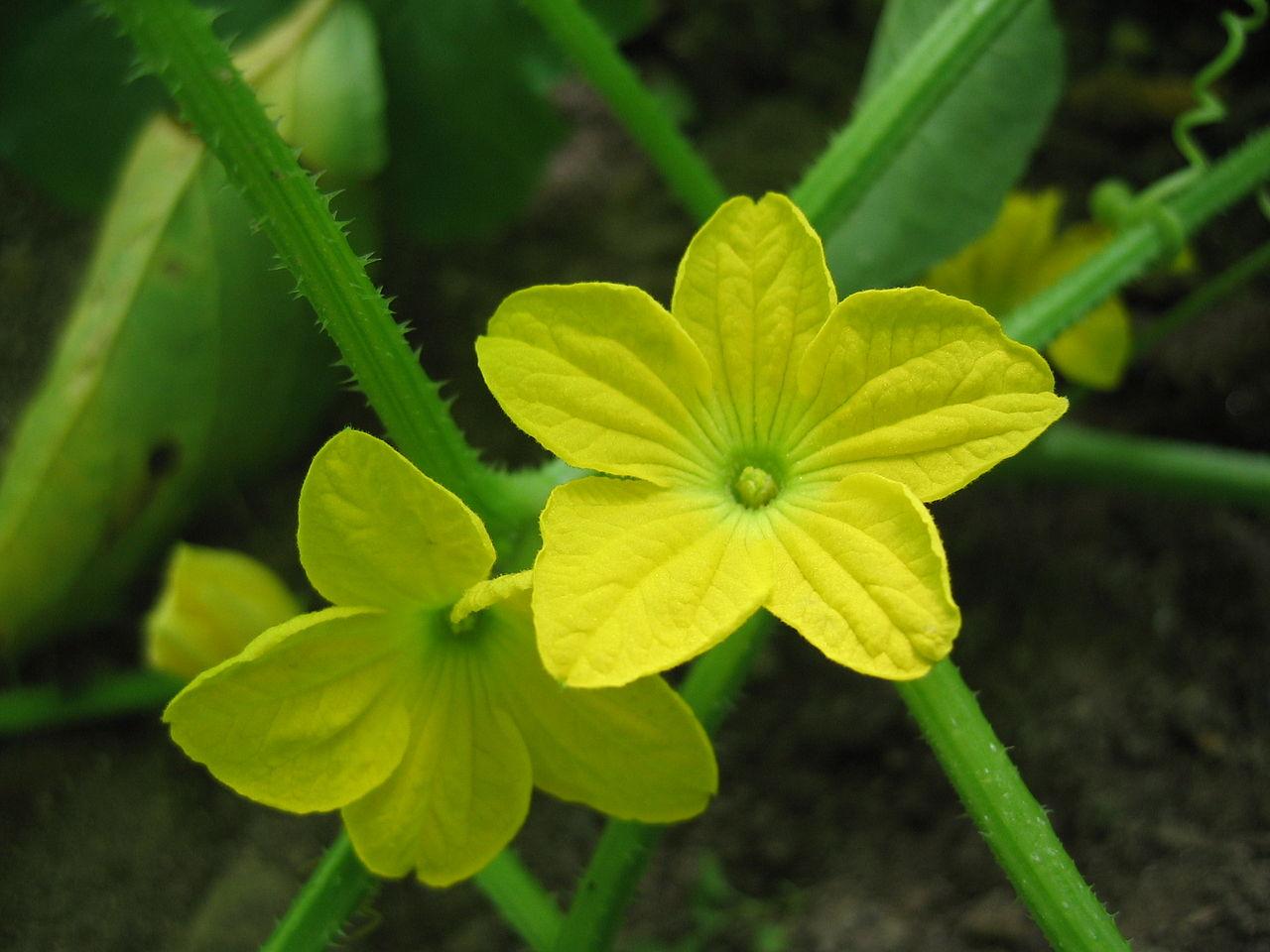 Cantaloupe flower-Mushmelon