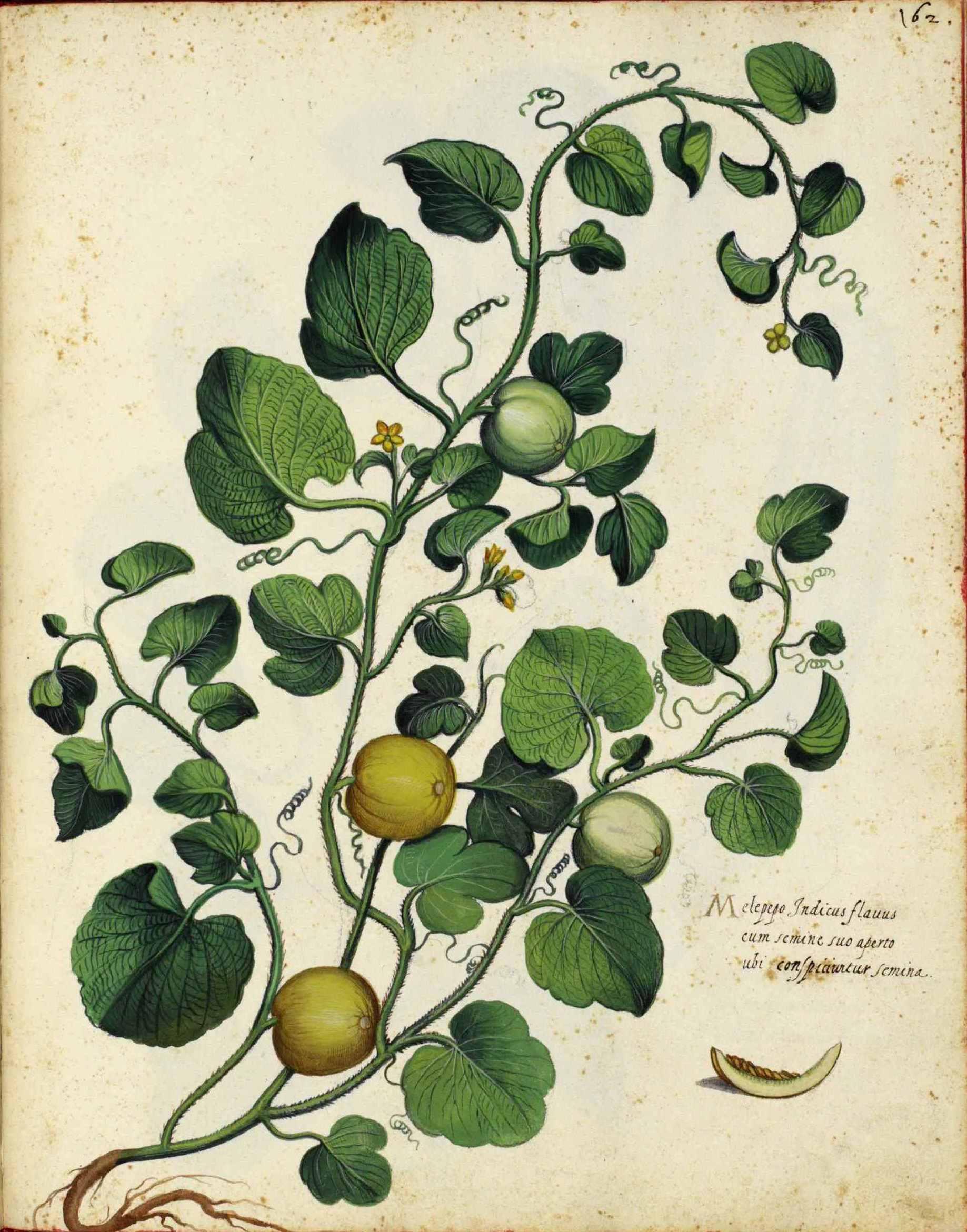 Cantaloupe seeds Facts and Health Benefits  Cantaloupe seed...