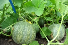 Cantaloupe plant-Persian melon