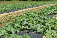 Cantaloupe farm-Cantaloup