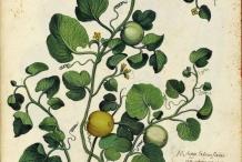 Cantaloupe plant illustration-Rockmelon