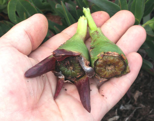 Mature-fruits-of-Cape-fig