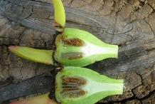 Half-cut-fruit-of-Cape-fig