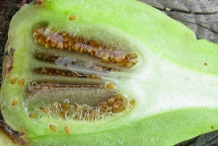 Seeds-of-cape-fig