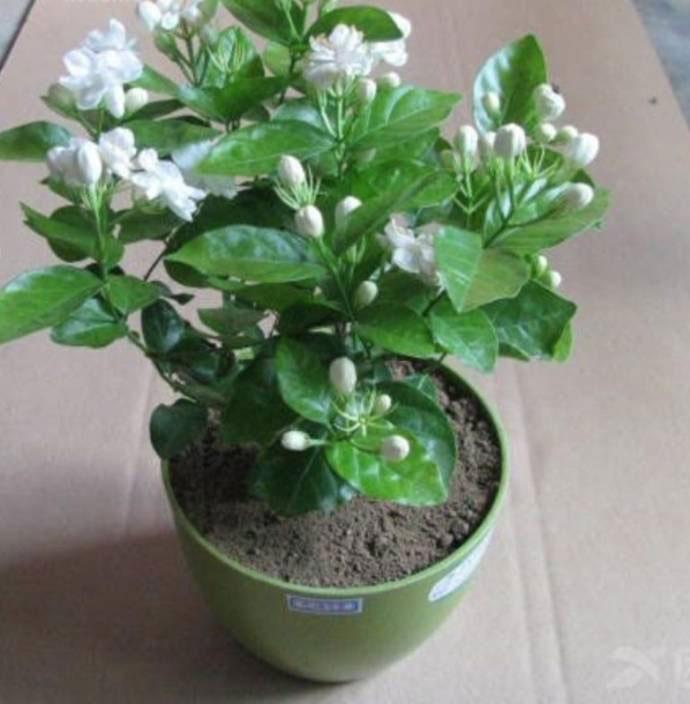 Cape-jasmine-plant-grown-on-the-pot