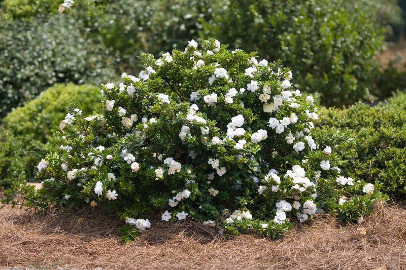 Cape-jasmine-plant