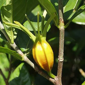 Immature-fruit-of-Cape-jasmine