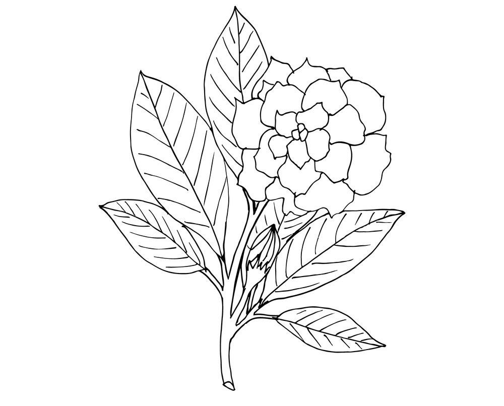 Sketch-of-Cape-jasmine