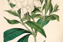 Plant-Illustration-of-Cape-jasmine