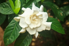 Flower-of-Cape-jasmine