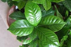 Leaves-of-Cape-jasmine