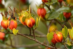 Mature-fruits-of-Cape-jasmine