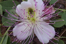 Caper-Flower