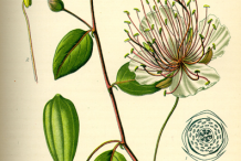 Capers-plant-Illustration
