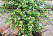 Capers-plant-on-the-wall