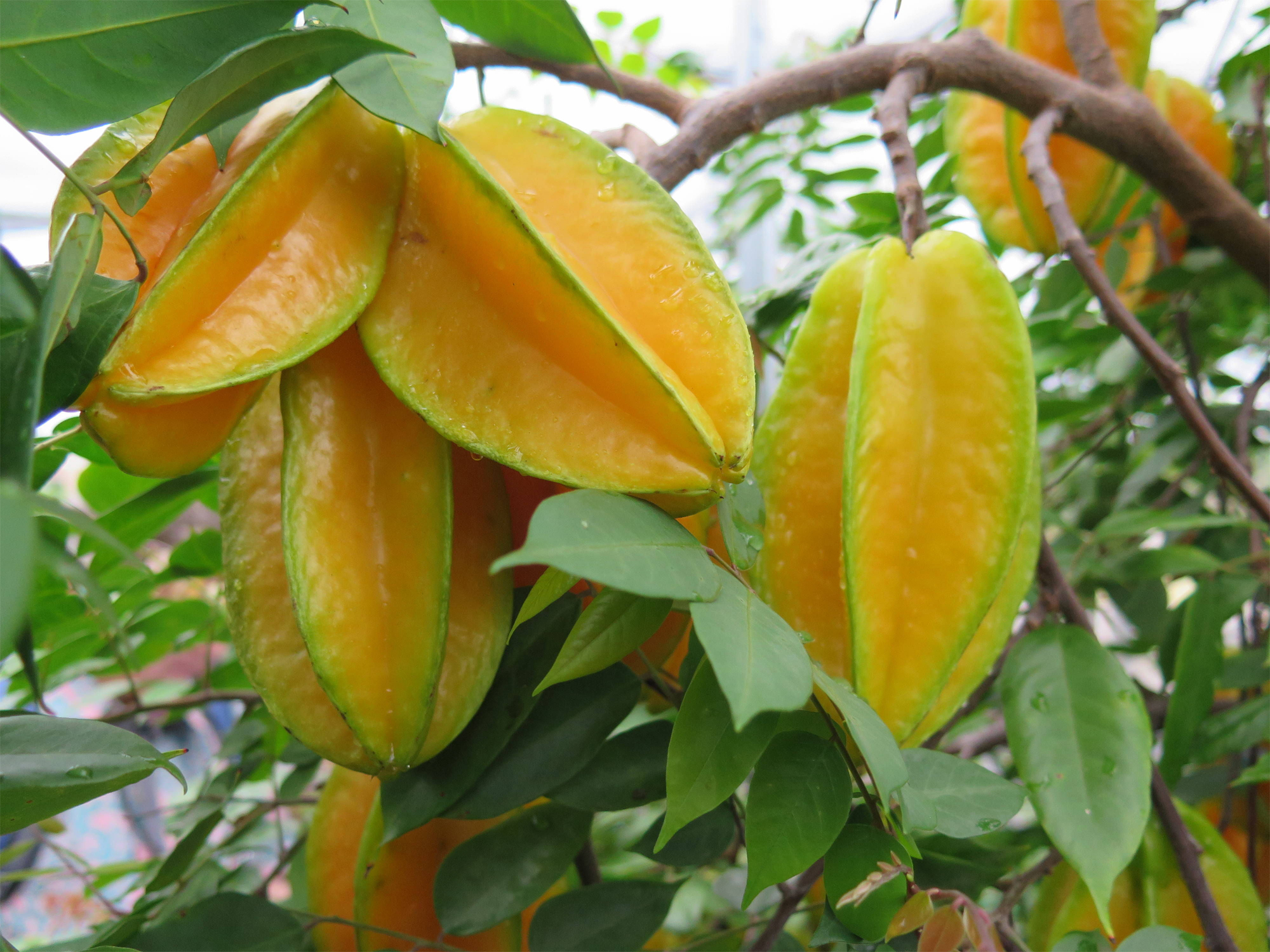 carambola facts health benefits and nutritional value