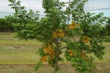 Carambola-tree