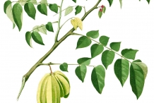 Plant-illustration-of-Carambola