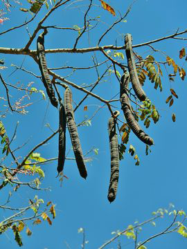 Carao-Fruit-on-the-tree