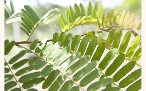 Leaves-of-Carao