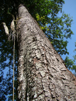 Trunk-of-Carao-plant