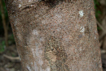 Bark-of-Carao