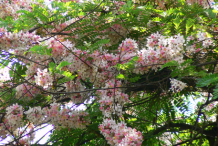 Carao-plant-during-flowering-season