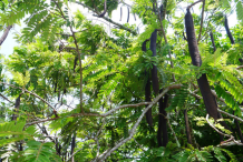 Carao-plant