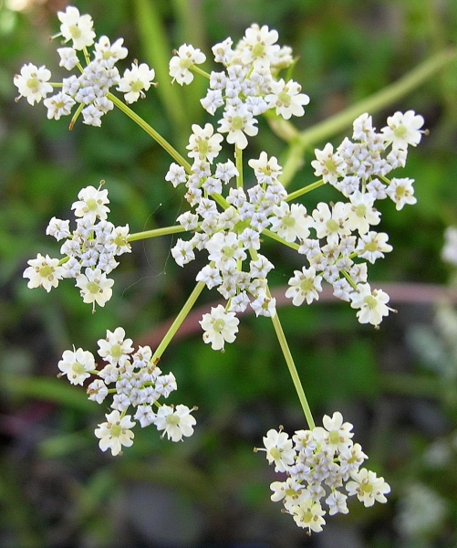 Close-up-flower-of-Caraway