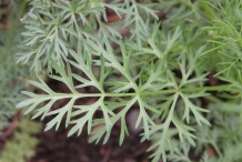 Leaves-of-Caraway