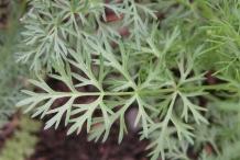 Leaves-of-Caraway