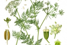 Plant-illustration-of-Caraway