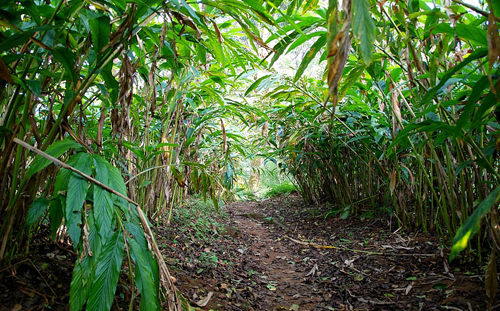 Cardamom-farm