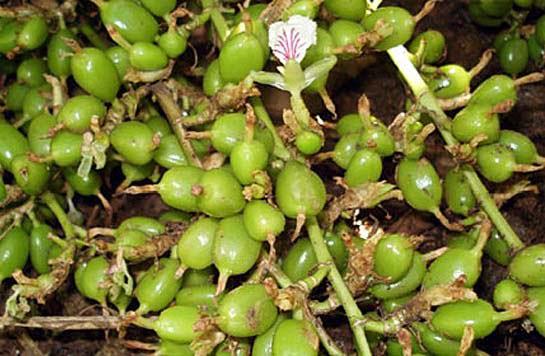 Cardamom-fruit-unripe