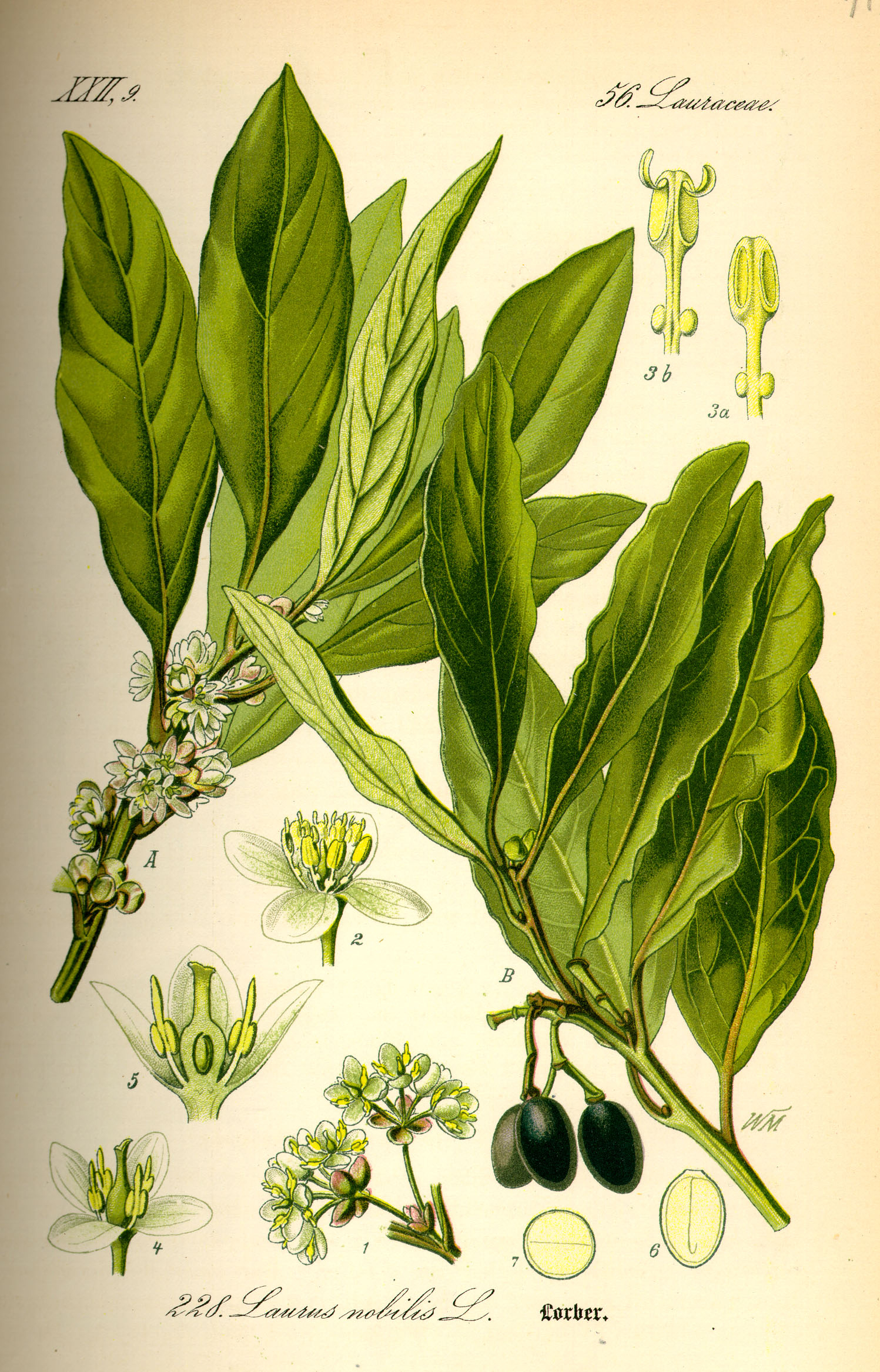 Cardamom-plant-illustration