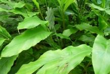 Cardamom-leaves