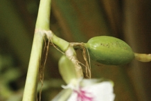 Cardamom-stem-and-buds