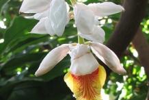 Cardamom-flower