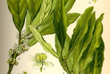 Cardamom-plant-illustration
