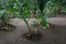 Cardamom-plant