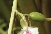 Cardamom-stem-and-buds