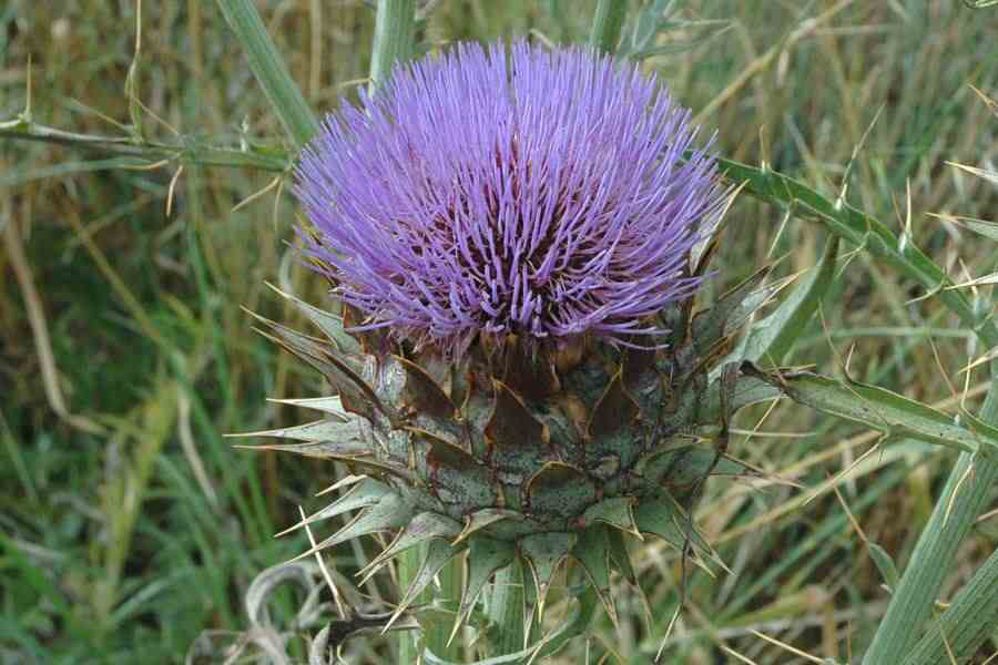 Close-up-flower-of-Cardoon